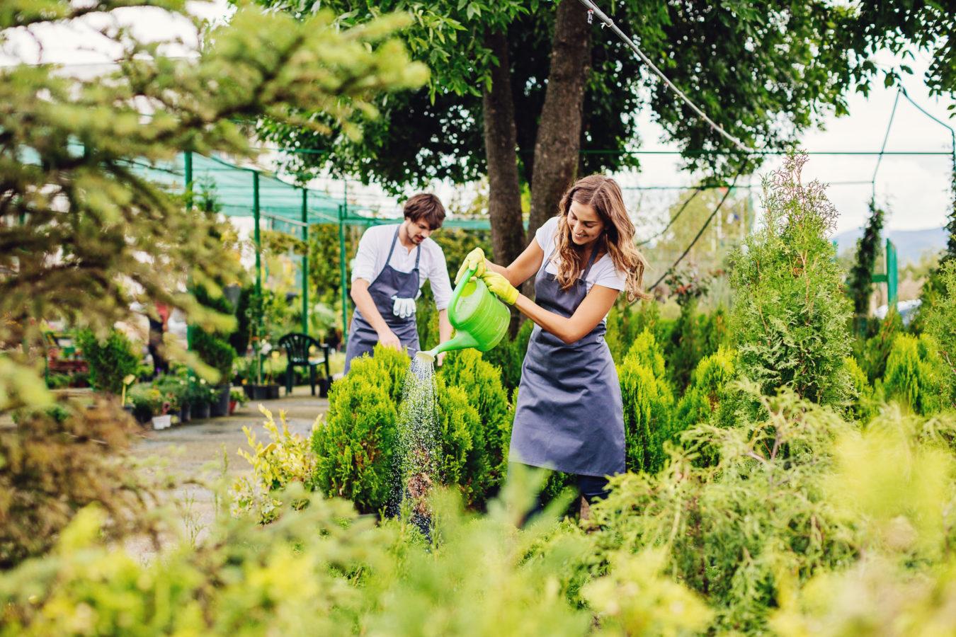 Unge jobber på et gartneri. Pike vanner grønn busk. Foto: Istock